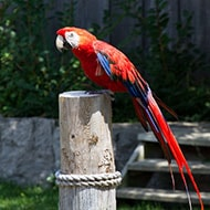 Popular Pet Bird Breeds Macaw