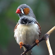 Popular Pet Bird Breeds Zebra Finch