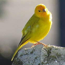 Popular Pet Bird Breeds Canary
