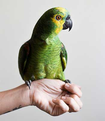 What is the best pet bird for you?