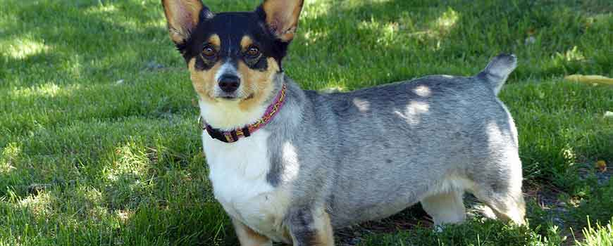 Best Therapy Dog Breeds Corgi