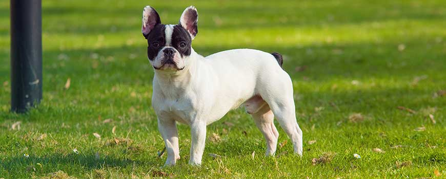 Best Therapy Dog Breeds - French bulldog