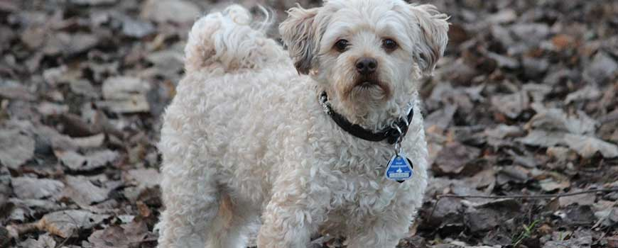 Best Therapy Dog Breeds Poodle