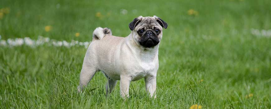 Best Therapy Dog Breeds pug