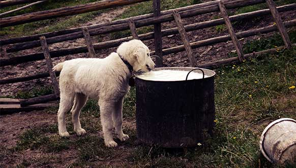 Is milk bad for a dog?